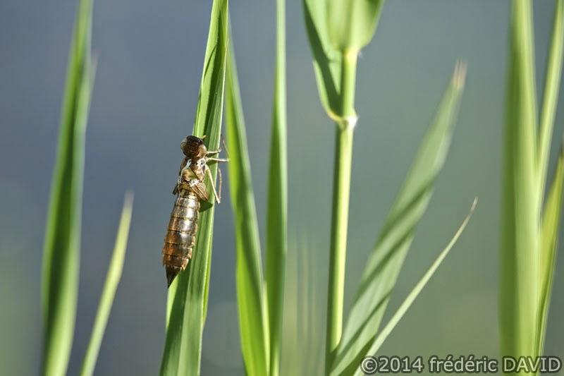 nature animaux insecte libellule anax empereur marais Épisy Seine-et-Marne