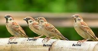 Foto Burung Gereja Jantan