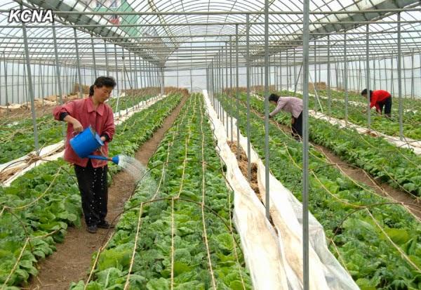 Alimentacion en Corea del Norte Kcna02042014-04