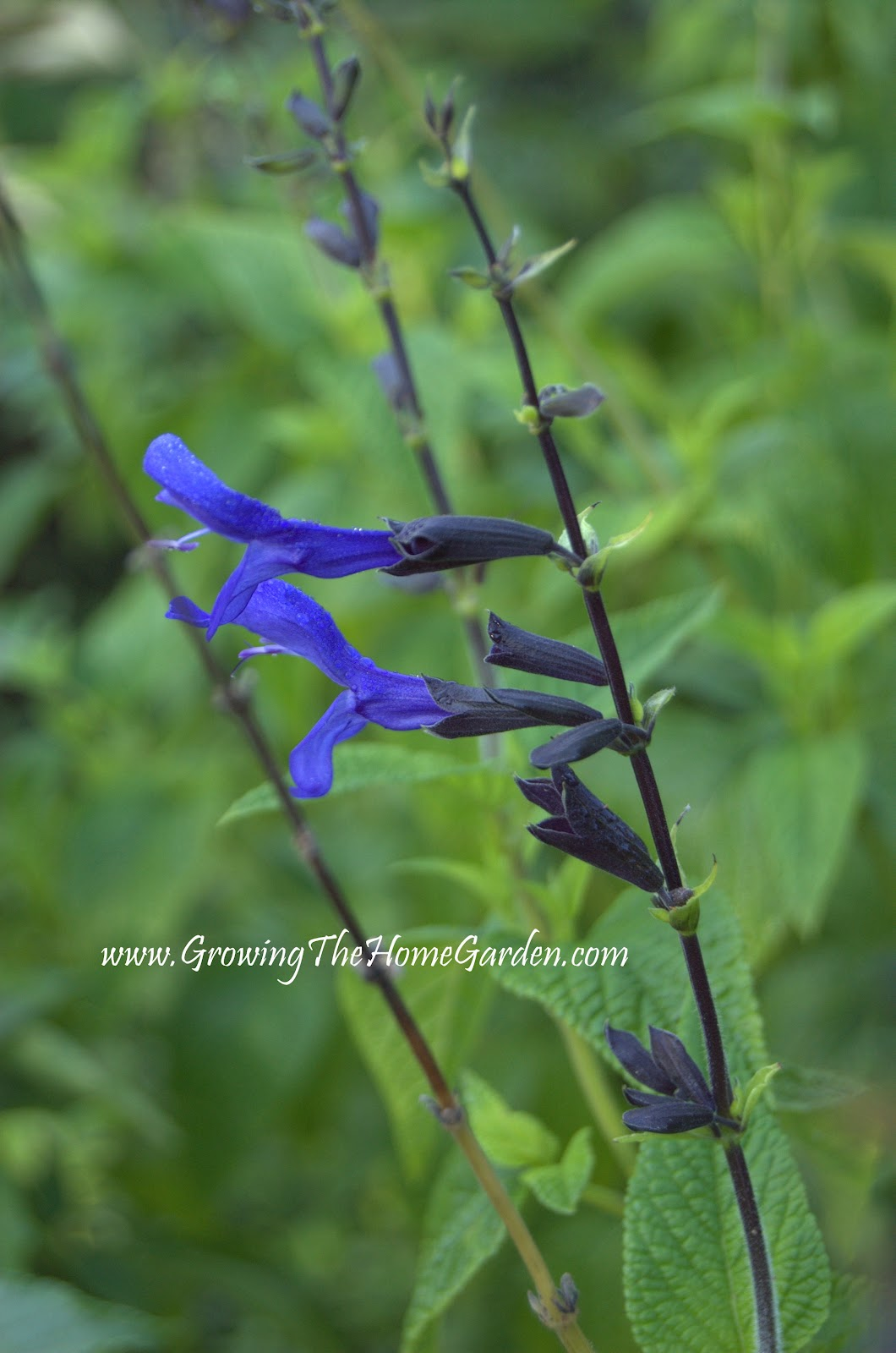 Three favorite july flowers growing the home garden black and blue salvia is also a favorite of the hummingbirds i cant count how many times ive been in the garden near this salvia and been dhlflorist Images