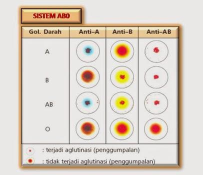 Contoh Laporan Praktikum Uji Golongan Darah Tugas Sekolah