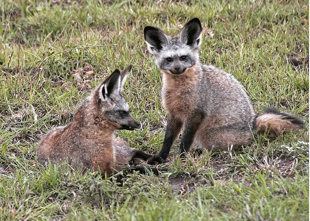 Bat eared fox - photo#24