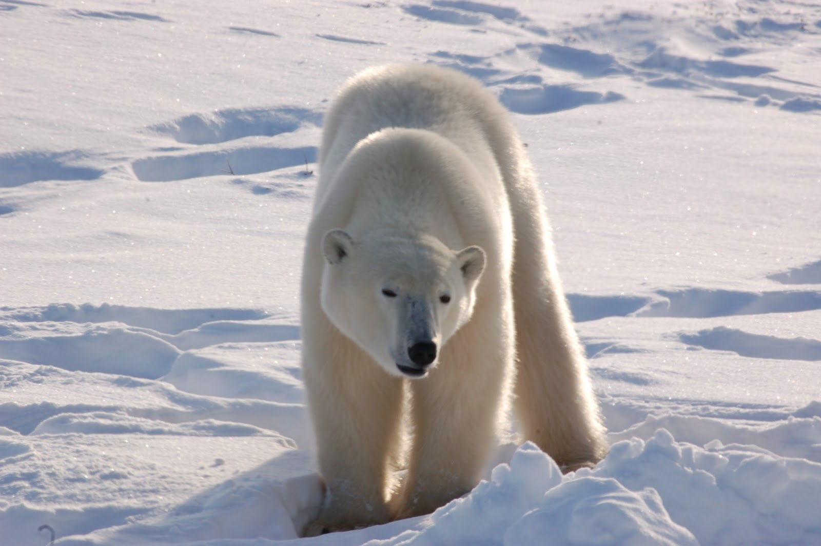 beautiful wallpapers polar bear wallpaper