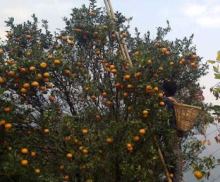 Orange in sittong