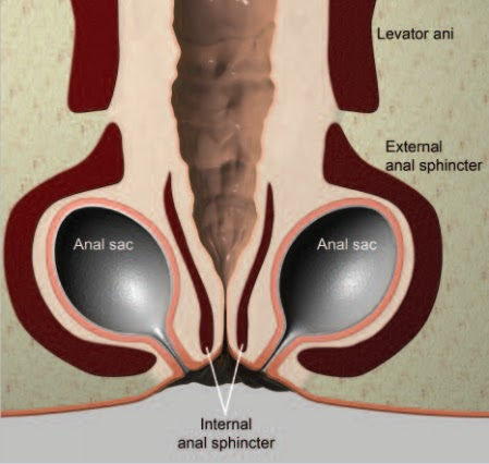 Gland the anal Infection of