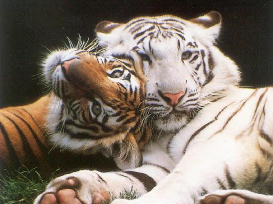 Que significa soñar con tigre