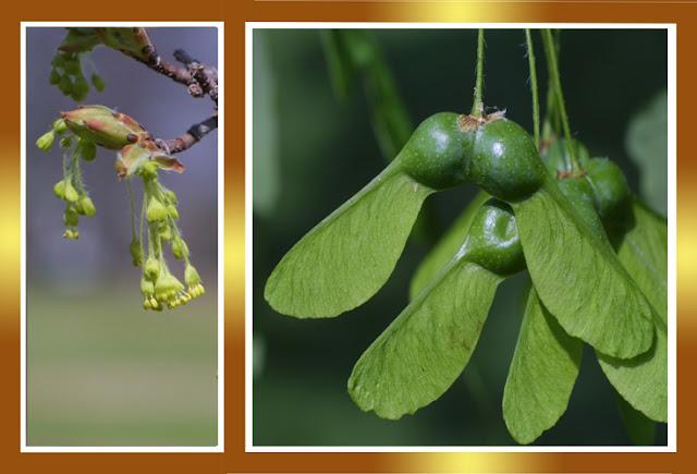 Gu a del plantabosques los arces del este de norteam rica - Arce arbol variedades ...