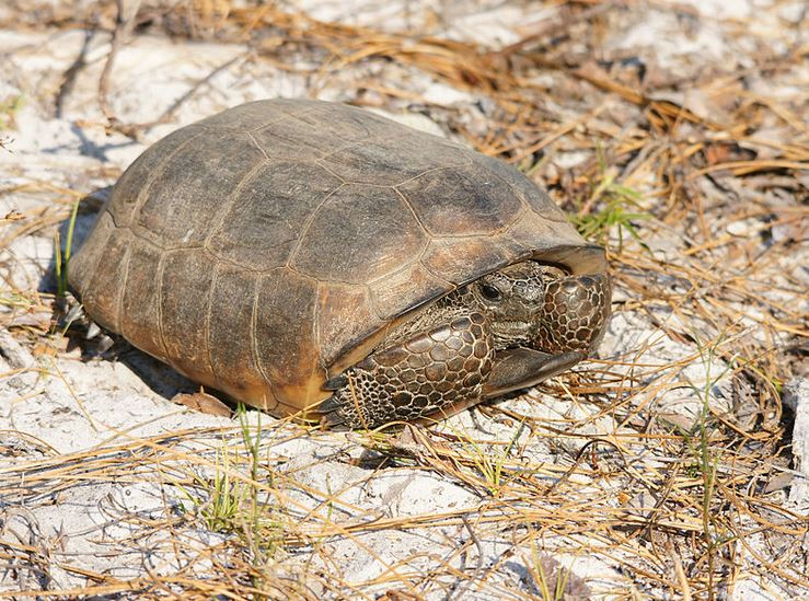 Exciting news. Click on native Gopher Tortoise: