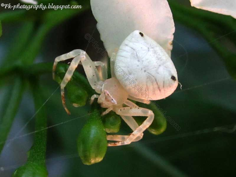White Crab Spider | Nature, Cultural, and Travel ...