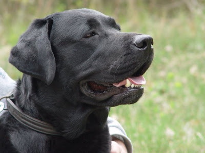 imagenes de perros Labradores retriever