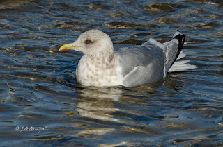 Gaviota de thayer, Gaviota esquimal, Larus thayeri, Thayer's gull