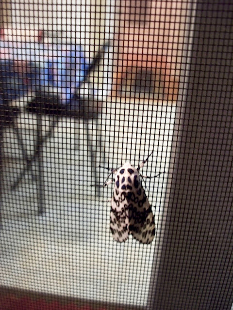 black and white spotted moth