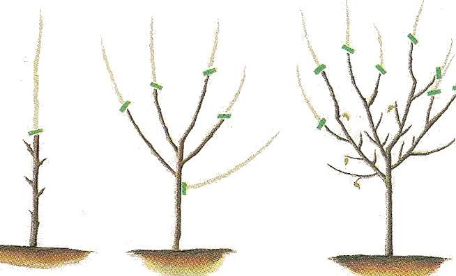 Oriaverde consejos de poda - Cuando se plantan los arboles frutales ...