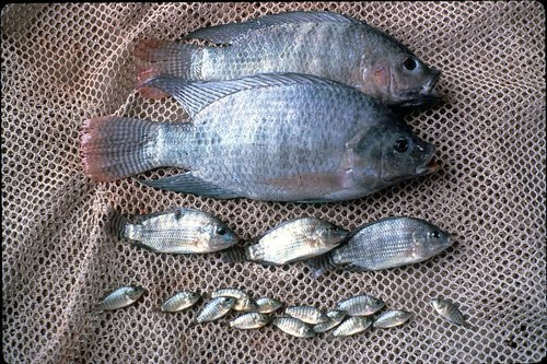 Asc magazine aquaponics fish and state regulations for Are fish considered animals