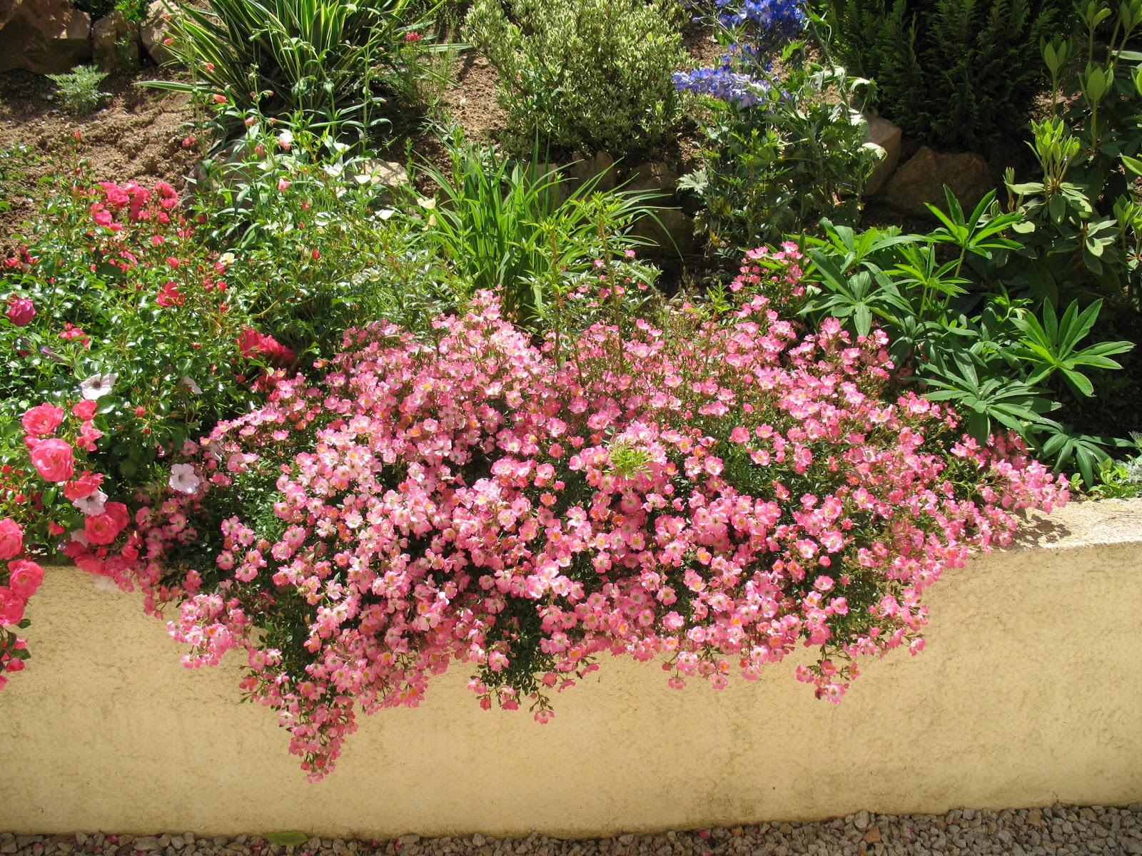 roses du jardin ch neland rosier pink spray. Black Bedroom Furniture Sets. Home Design Ideas