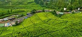Uganda'da Çay Yetiştiriciliği
