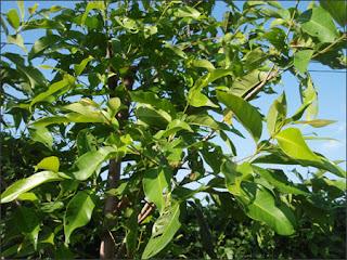2 loại cây thuốc thiên nhiên chữa bệnh viêm đại tràng