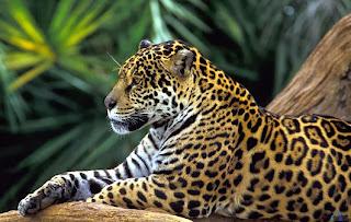 Onça pintada animais pantanal