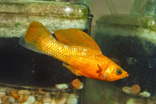 sailfin-molly-fish.png