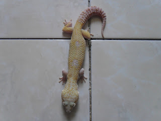 gecko monster7-jual