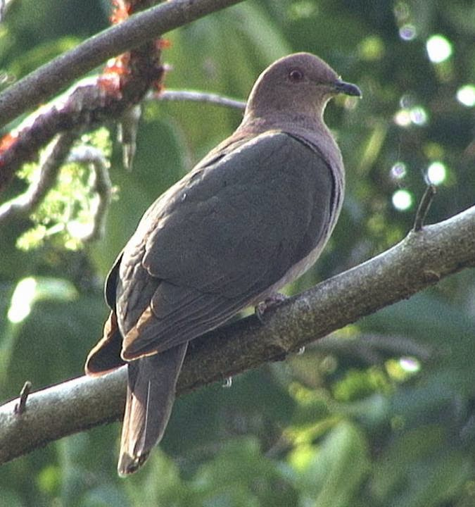 Short billed pigeon