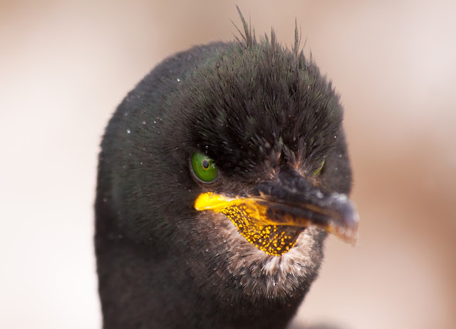 Shag - Farne Islands, Northumberland