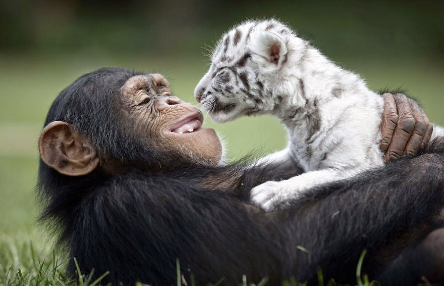 #5 Anjana The Chimpanzee And Tiger Cubs - Unusual Animal Friendships That Are Absolutely Adorable!