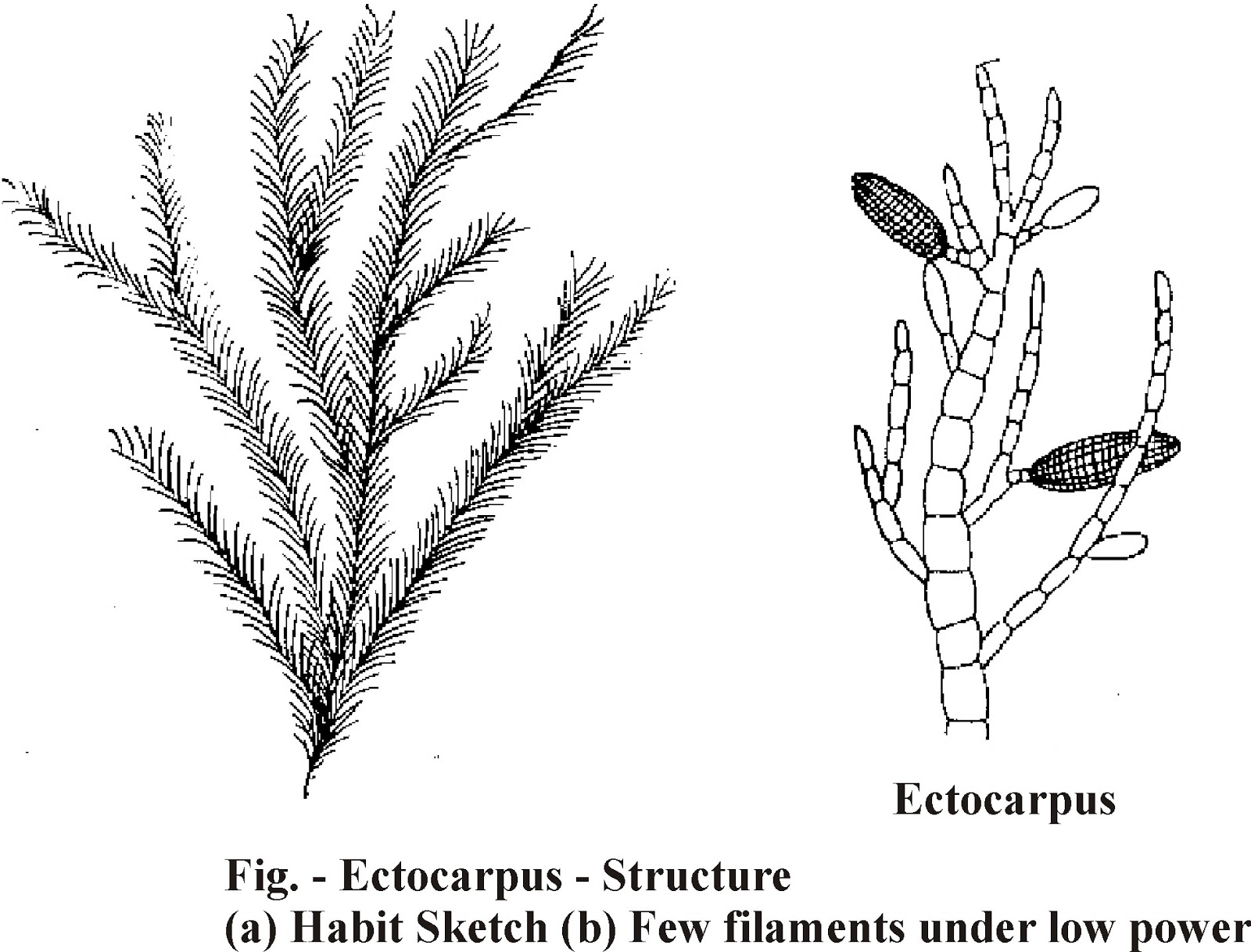 Plurilocular sporangia in ectocarpus asexual reproduction