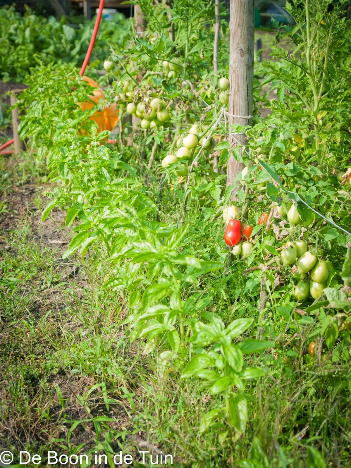 tomaat tomaten roma basilicum volle grond