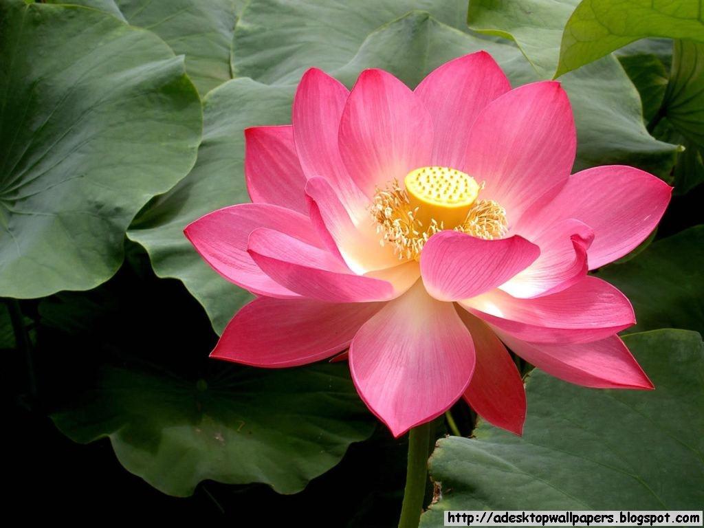 Lotus Flower Desktop Wallpapers A Desktop Wallpapers