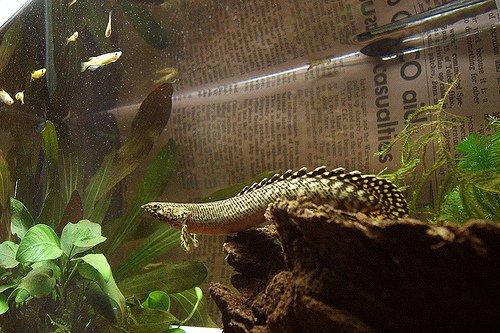 Fish Pictures: Ornate bichir - Polypterus ornatipinnis