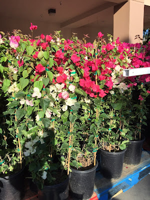 Bougainvillea flowers for your garden or backyard