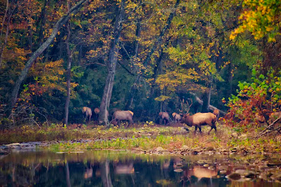 Elk Herd Crossing the Buffalo National River
