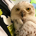 Friendship steps up to help out DC's inured Snowy Owl