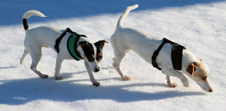 Sniffing their way through the snow