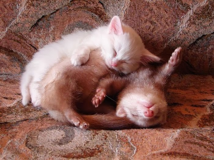 Funny animals of the week - 14 February 2014 (40 pics), kitten sleeping with ferret