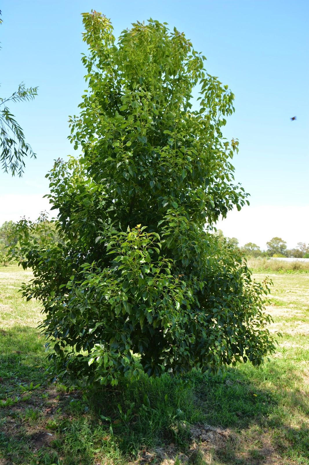 Cinnamomum glanduliferum- Falso Alcanfor