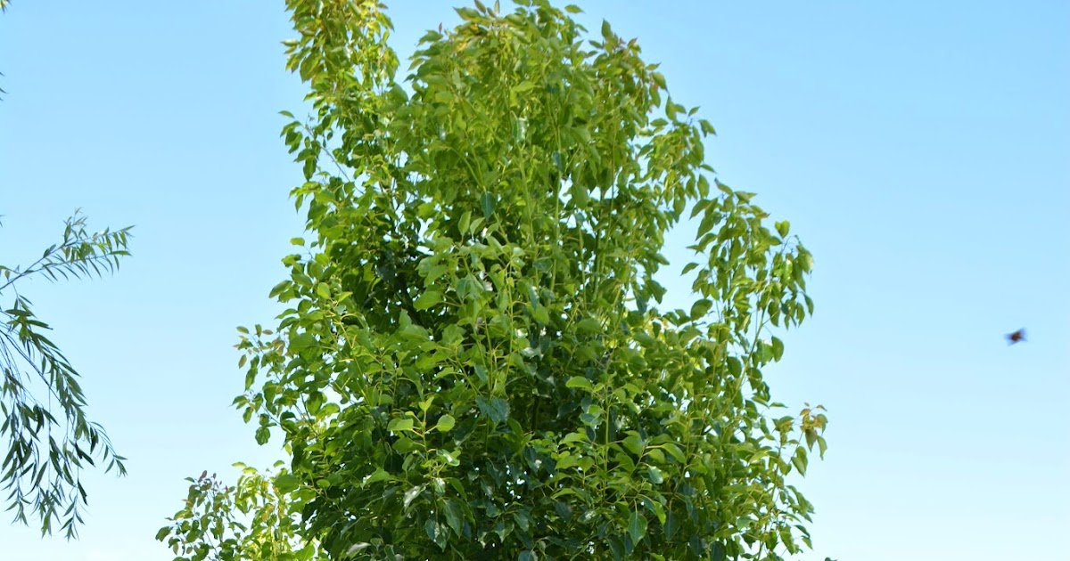 Falso alcanfor ornamental perenne cinnamomum for Arboles jardin hoja perenne