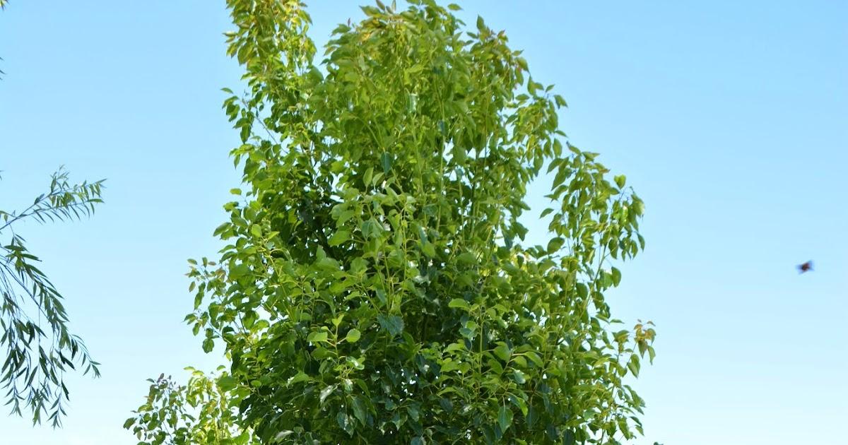 Sobre flora falso alcanfor ornamental perenne for Arboles crecimiento rapido hoja perenne