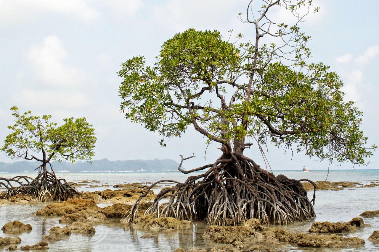 Mangroves of Neil Island