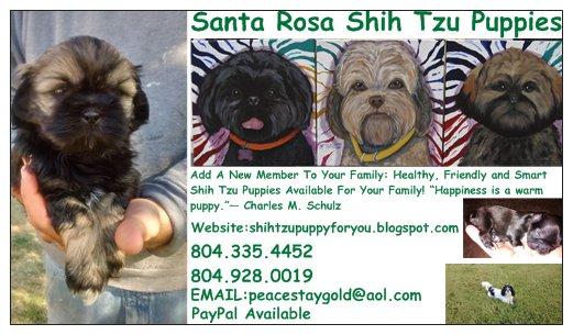 Santa Rosa Shih Tzu Puppies