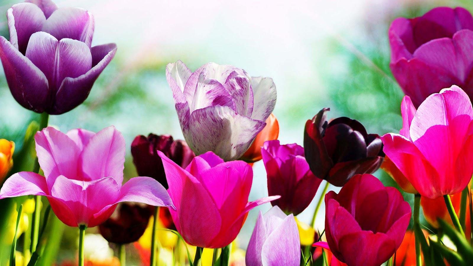 tulpen achtergrond met een - photo #11