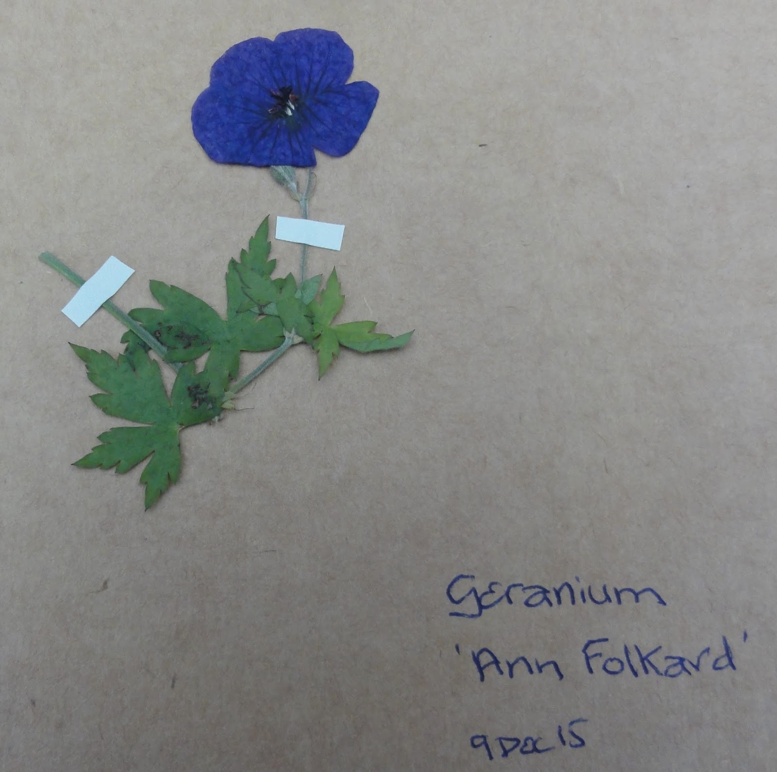 How to scrapbook pressed flowers - I Checked How The Pressings Were Going A Week Ago All Fine And Yesterday I Completed Process Of Adding The Pressed Flowers And Foliage To My Scrapbook
