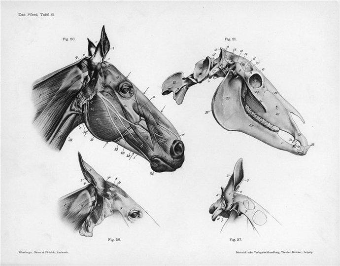 Todo Caballos y ponis: Fichas propuestas sobre anatomía