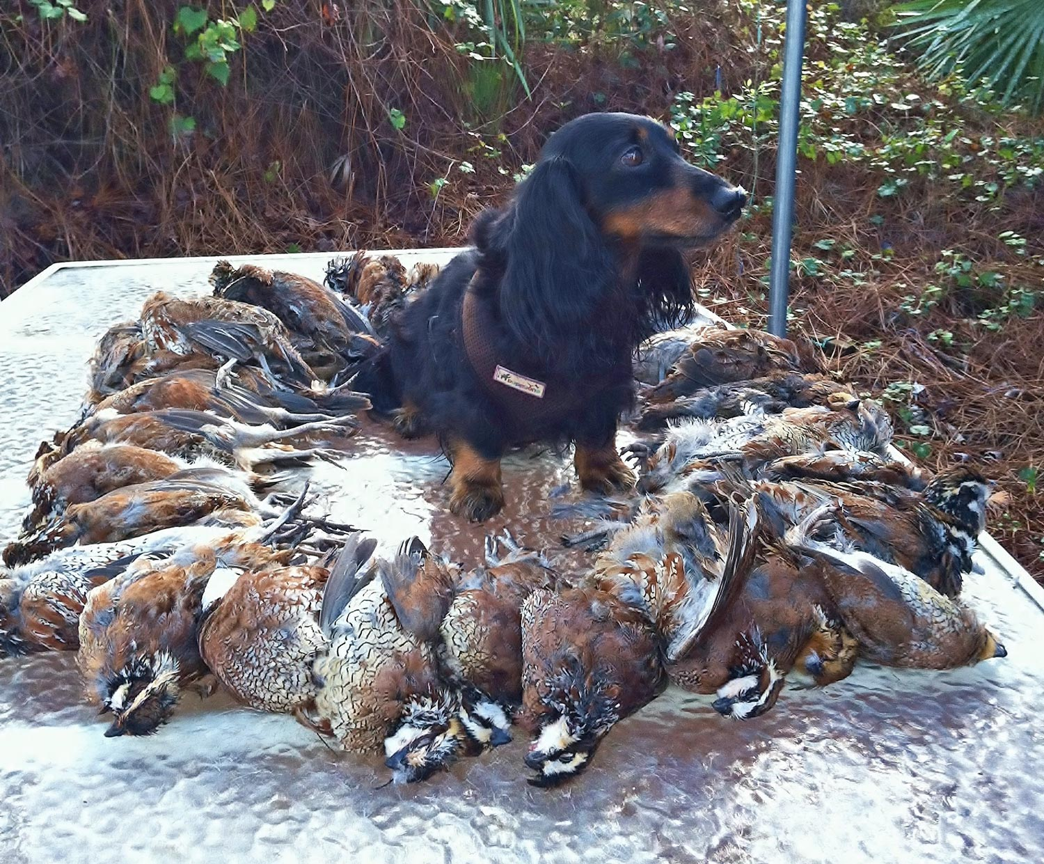 born to track blog ike a mini longhaired dachshund proved his