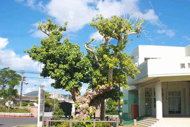 Hernandia nymphaeifolia, Chinese Lantern Tree, sacred