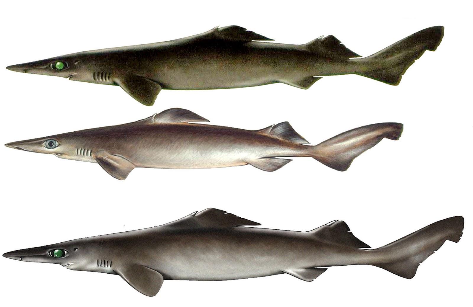 Lujoso Anatomía Externa Tiburón Ornamento - Anatomía de Las ...