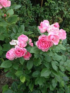 Ghita Renaissance roser