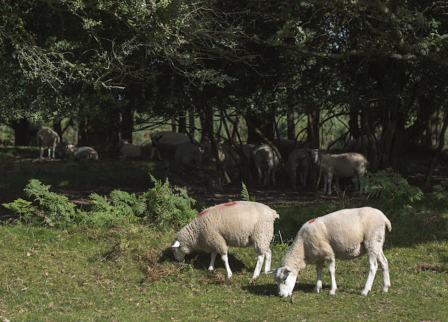 Sheep grazing on the Ashdown next to the Hollies car park.  Ashdown Forest, 6 September 2012.