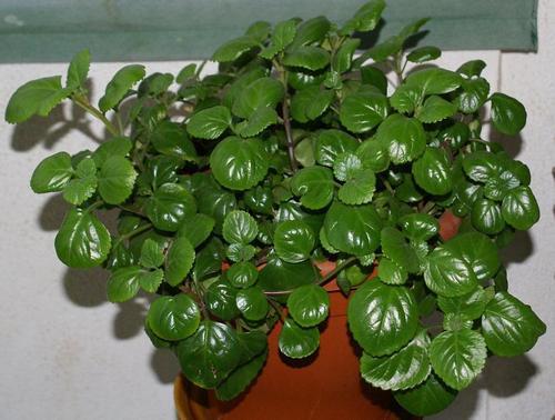 Planta del dinero for Como cuidar las plantas ornamentales